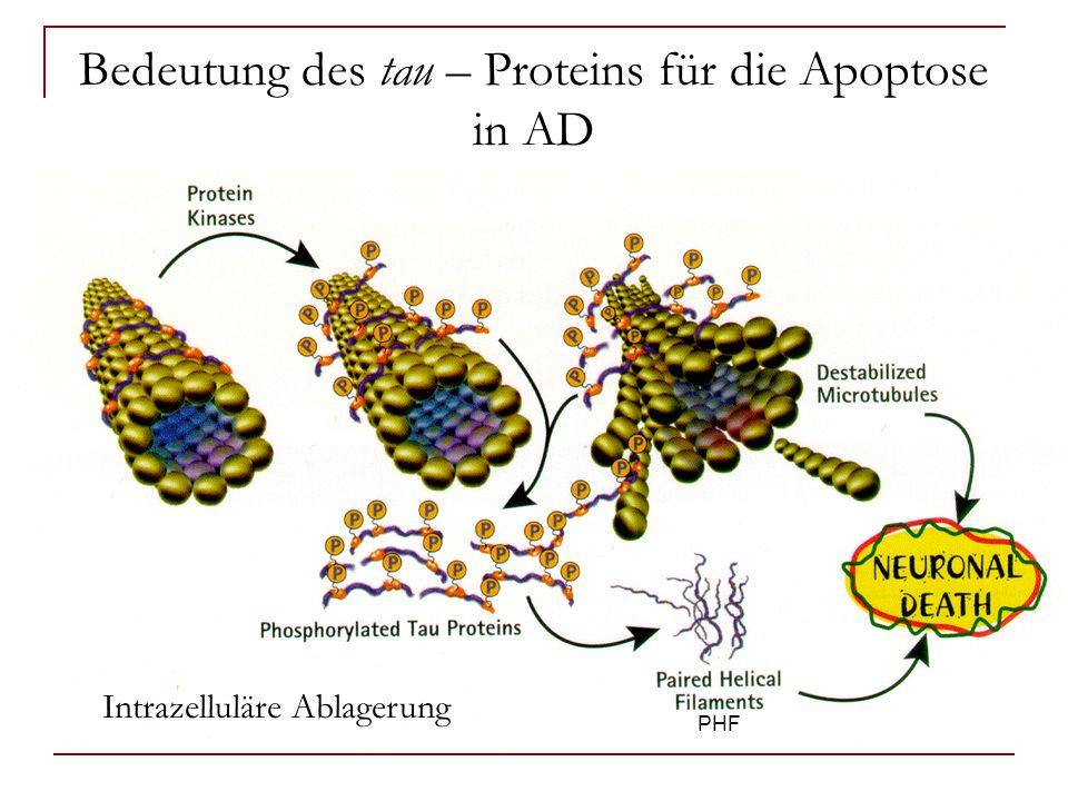 Bedeutung des tau – Proteins für die Apoptose in AD