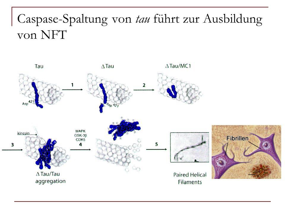 Caspase-Spaltung von tau führt zur Ausbildung von NFT