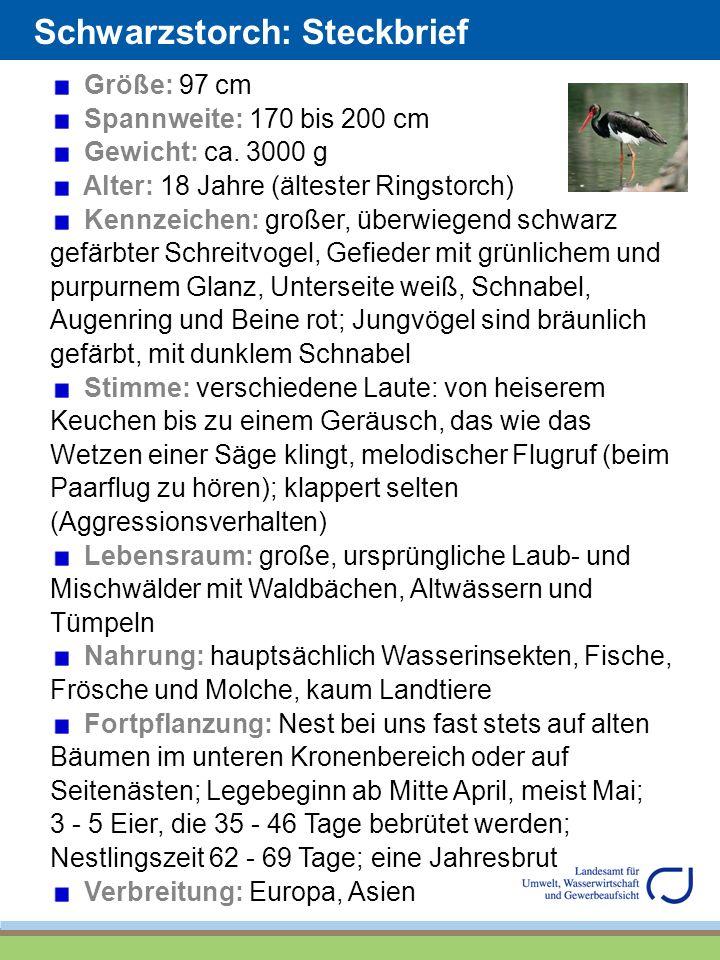 Schwarzstorch: Steckbrief