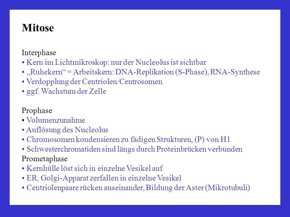 """Mitose Interphase. Kern im Lichtmikroskop: nur der Nucleolus ist sichtbar. """"Ruhekern = Arbeitskern: DNA-Replikation (S-Phase), RNA-Synthese."""