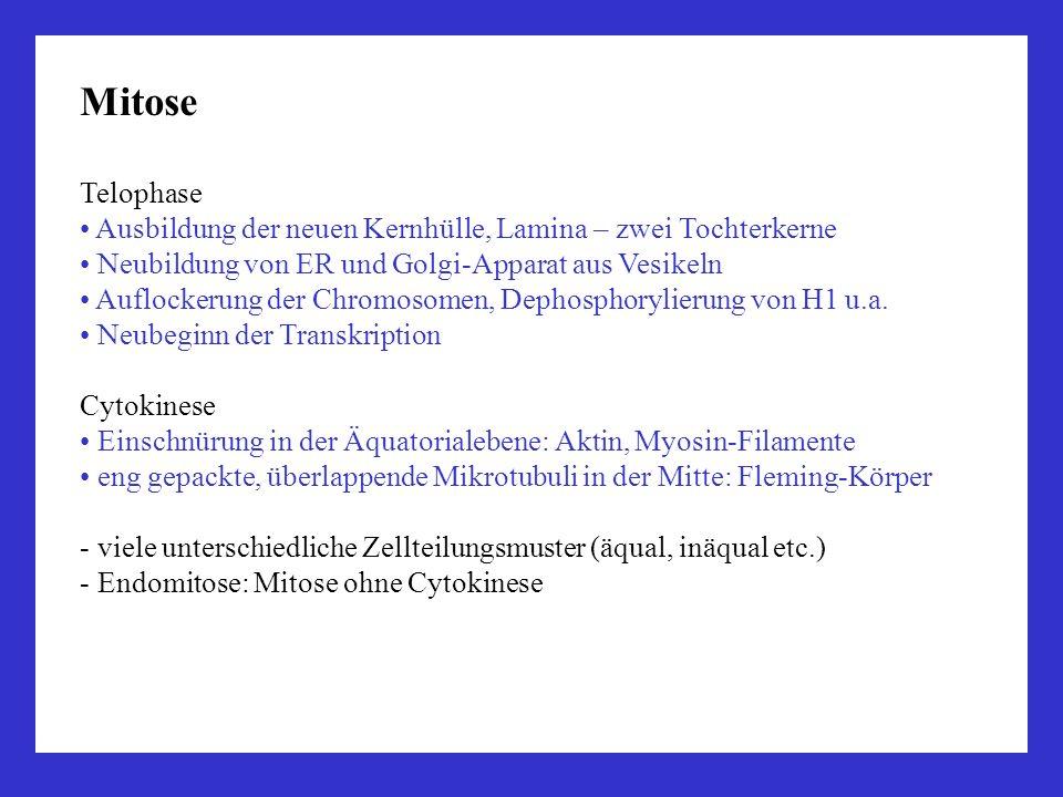 Mitose Telophase. Ausbildung der neuen Kernhülle, Lamina – zwei Tochterkerne. Neubildung von ER und Golgi-Apparat aus Vesikeln.