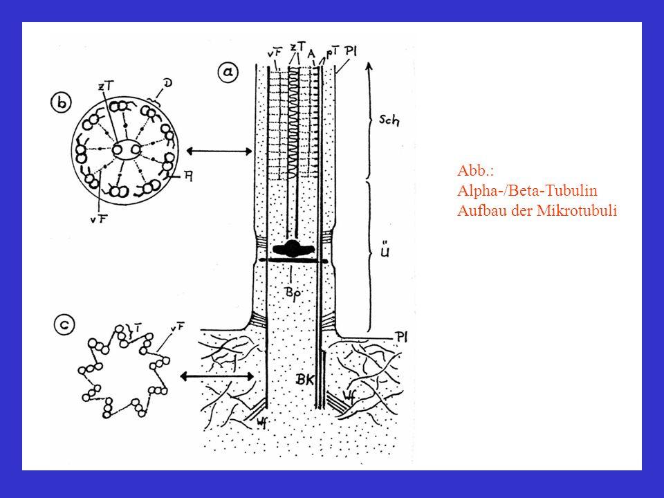 Abb.: Alpha-/Beta-Tubulin Aufbau der Mikrotubuli