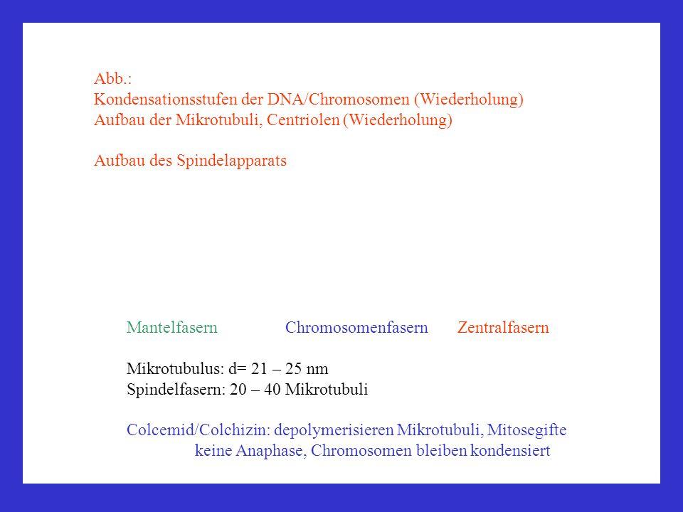 Abb.: Kondensationsstufen der DNA/Chromosomen (Wiederholung) Aufbau der Mikrotubuli, Centriolen (Wiederholung)