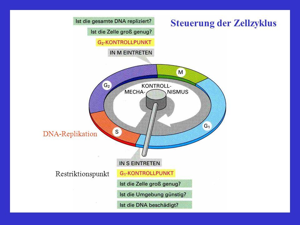 Steuerung der Zellzyklus