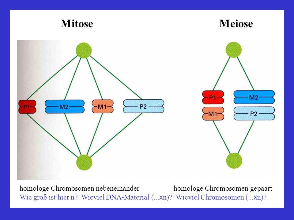 Mitose Meiose homologe Chromosomen nebeneinander homologe Chromosomen gepaart.