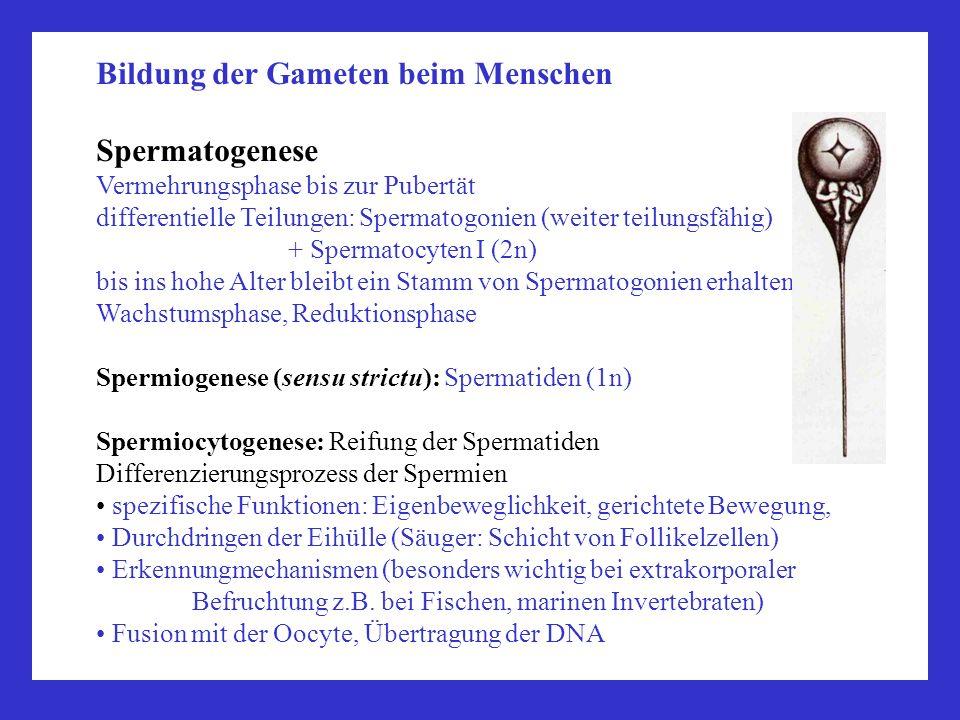 Bildung der Gameten beim Menschen Spermatogenese