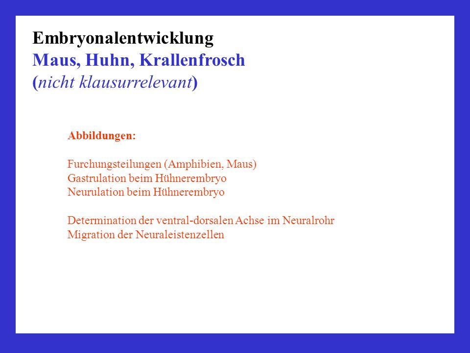 Embryonalentwicklung Maus, Huhn, Krallenfrosch (nicht klausurrelevant)