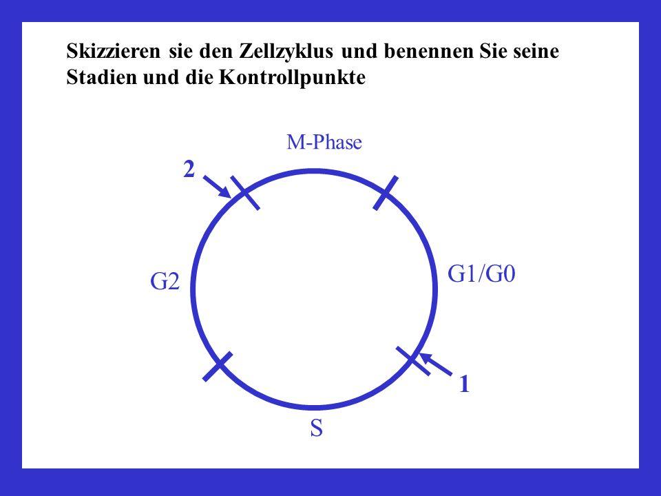 Skizzieren sie den Zellzyklus und benennen Sie seine Stadien und die Kontrollpunkte