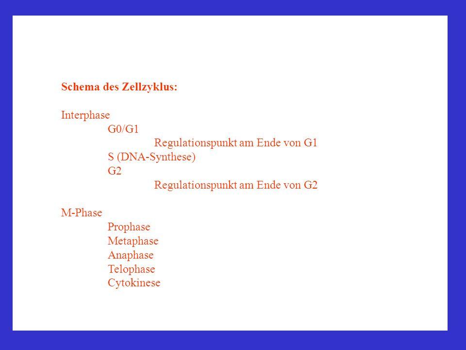 Schema des Zellzyklus: