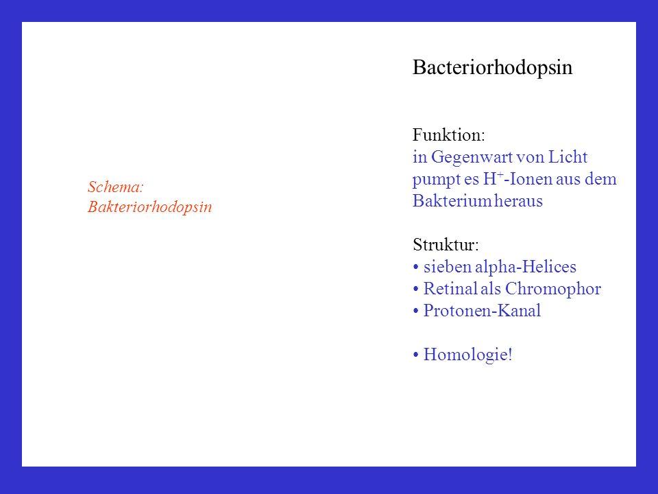 Bacteriorhodopsin Funktion: