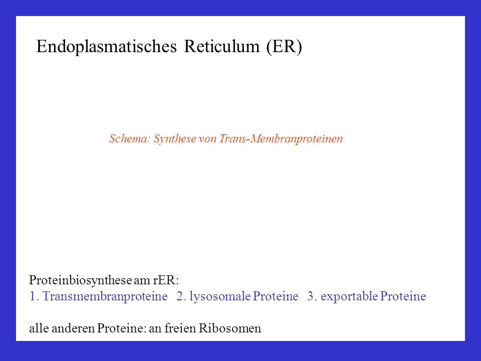 Endoplasmatisches Reticulum (ER)