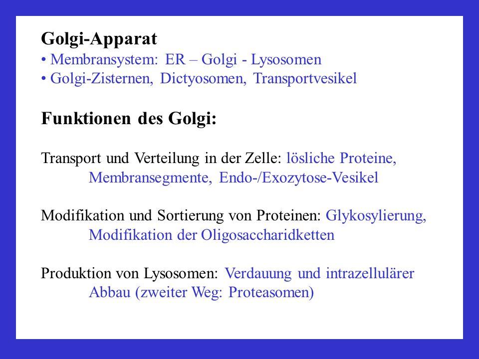 Golgi-Apparat Funktionen des Golgi: