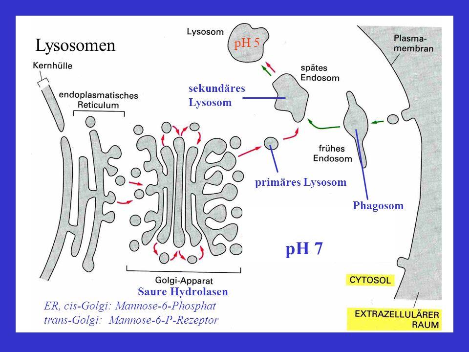Lysosomen pH 7 pH 5 sekundäres Lysosom primäres Lysosom Phagosom