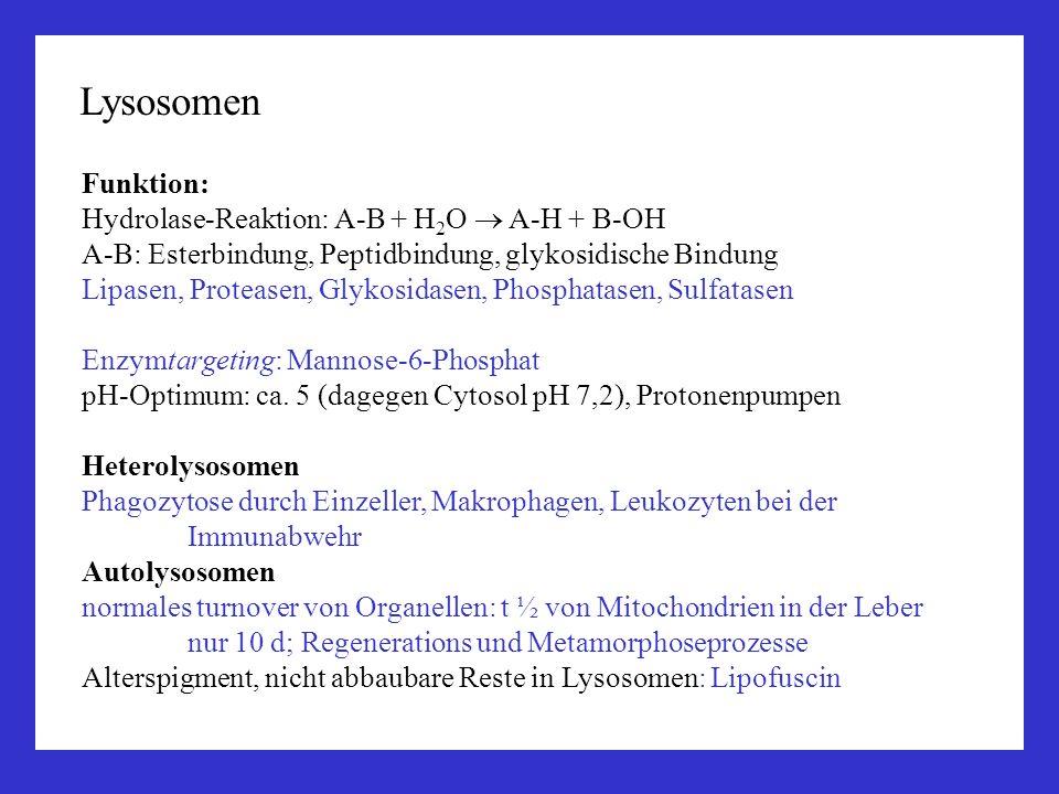 Lysosomen Funktion: Hydrolase-Reaktion: A-B + H2O  A-H + B-OH