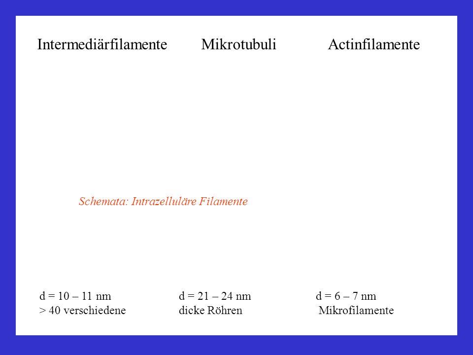 Intermediärfilamente Mikrotubuli Actinfilamente