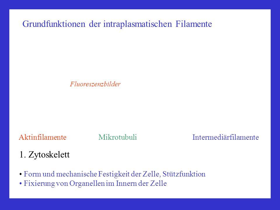 Grundfunktionen der intraplasmatischen Filamente