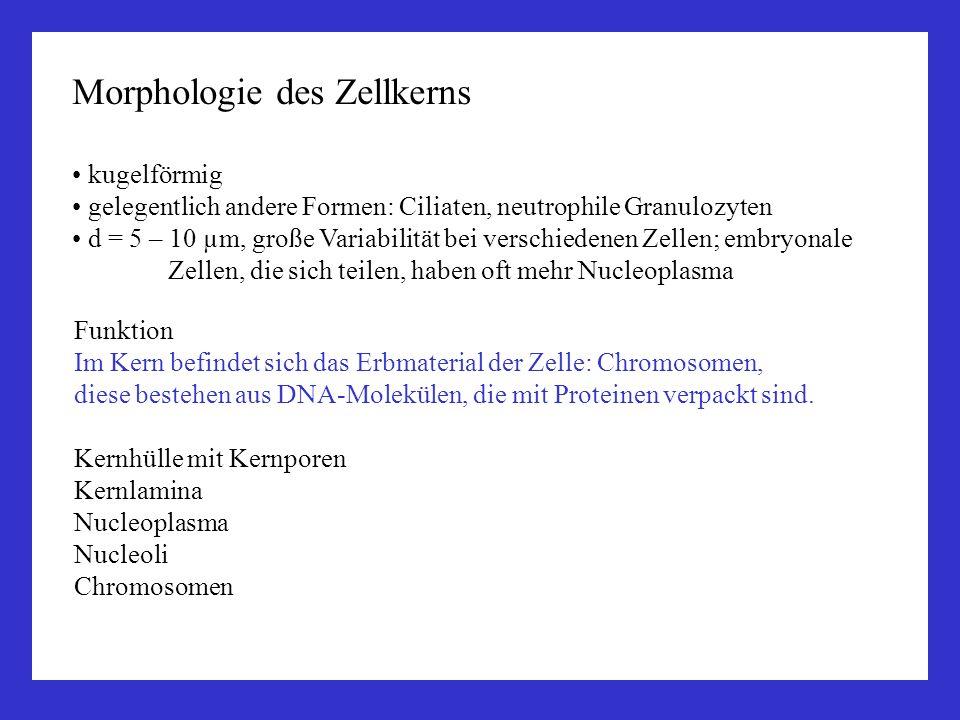 Morphologie des Zellkerns