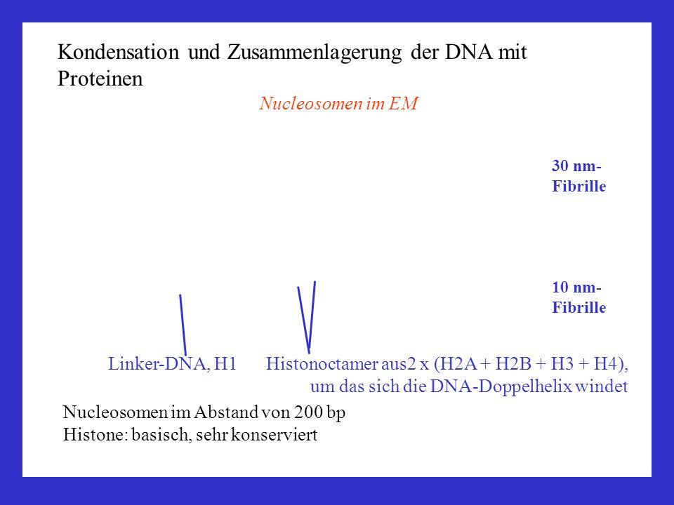 Kondensation und Zusammenlagerung der DNA mit Proteinen