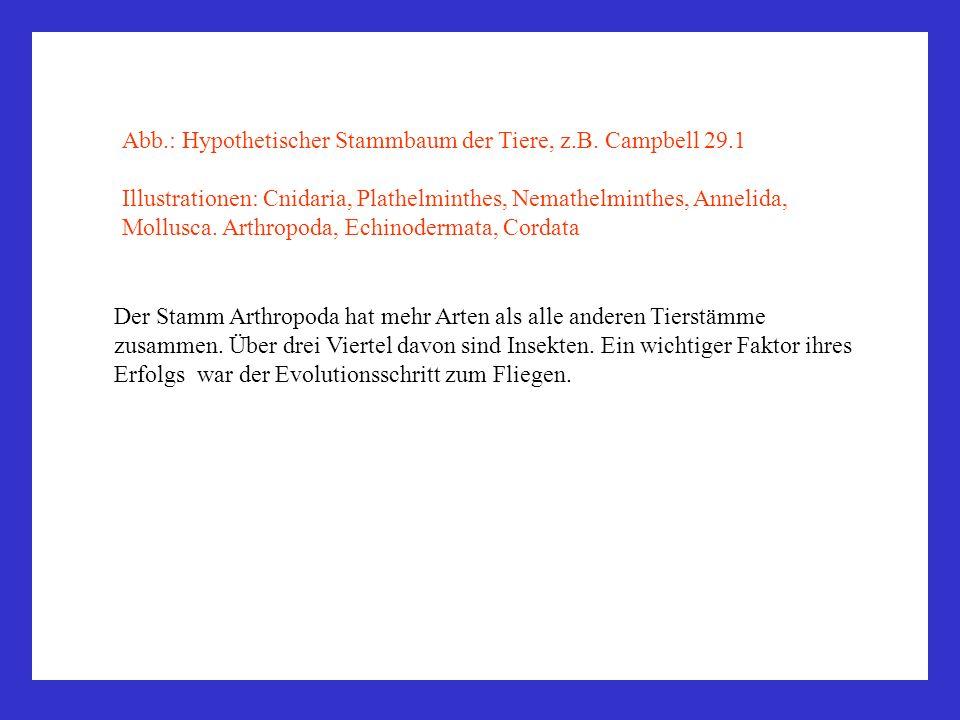 Abb.: Hypothetischer Stammbaum der Tiere, z.B. Campbell 29.1