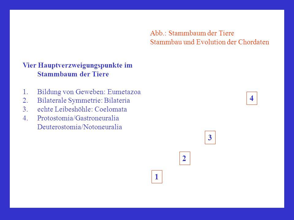 4 3 2 1 Abb.: Stammbaum der Tiere Stammbau und Evolution der Chordaten