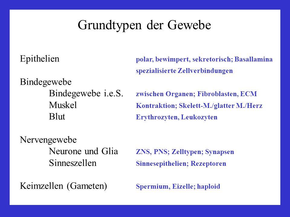 Grundtypen der Gewebe Epithelien polar, bewimpert, sekretorisch; Basallamina. spezialisierte Zellverbindungen.