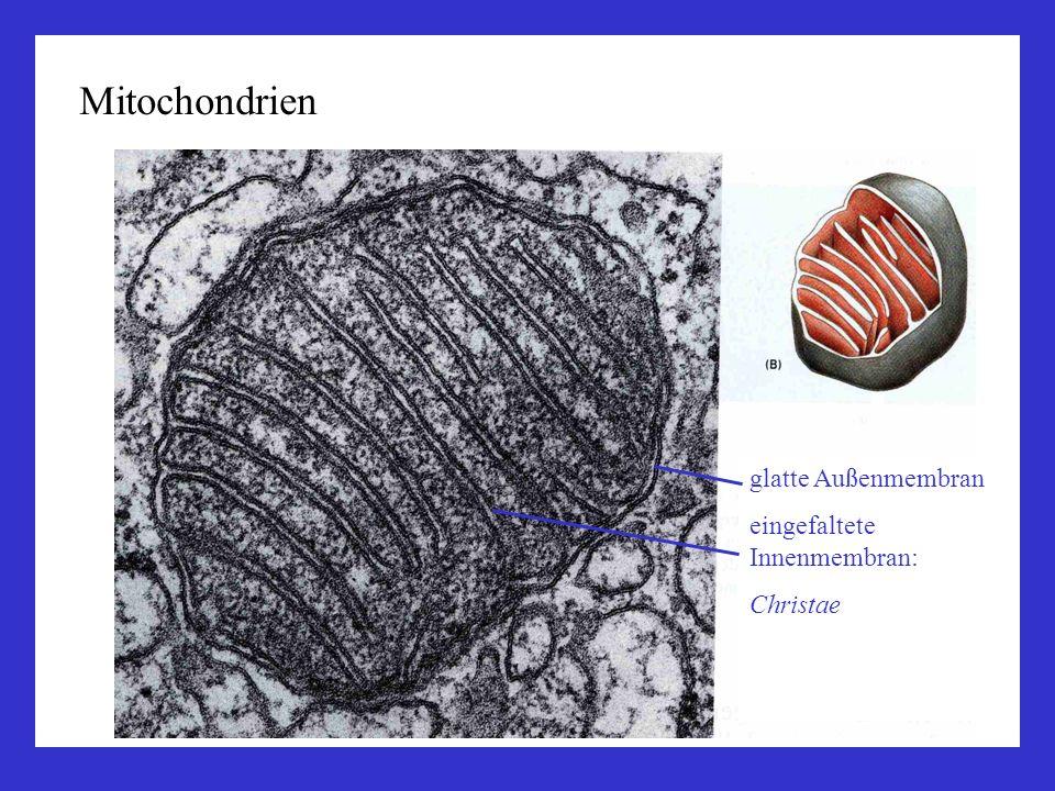 Mitochondrien glatte Außenmembran eingefaltete Innenmembran: Christae