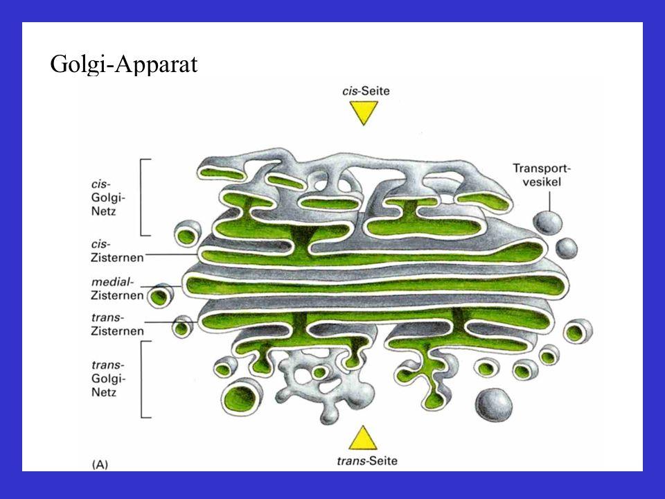 Golgi-Apparat