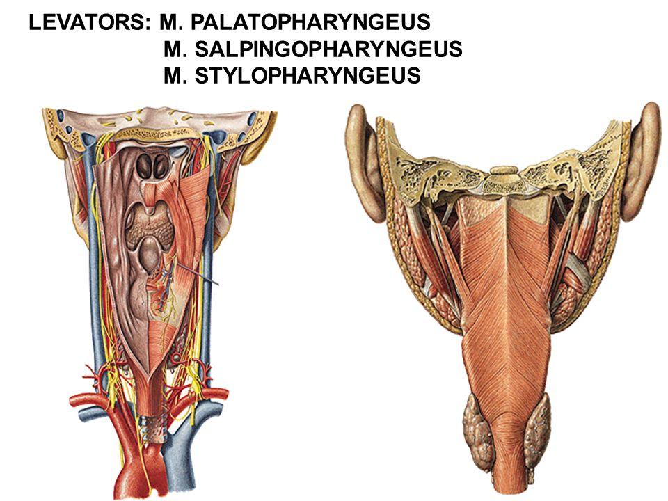 LEVATORS: M. PALATOPHARYNGEUS
