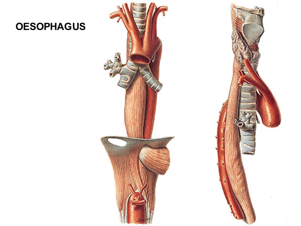 OESOPHAGUS