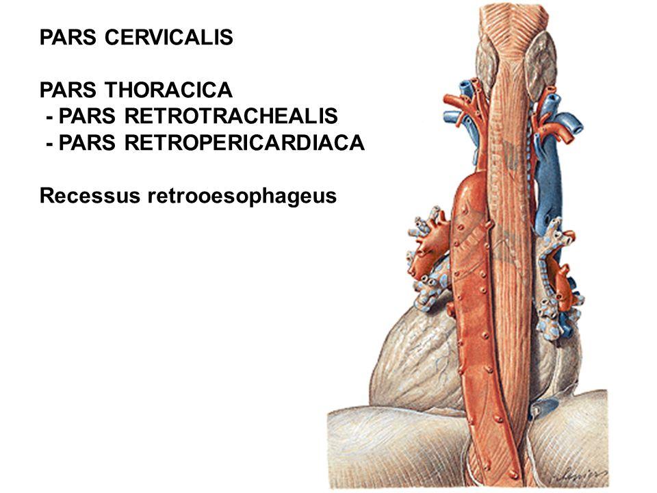 PARS CERVICALIS PARS THORACICA. - PARS RETROTRACHEALIS.