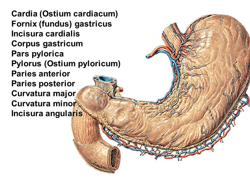 Cardia (Ostium cardiacum)