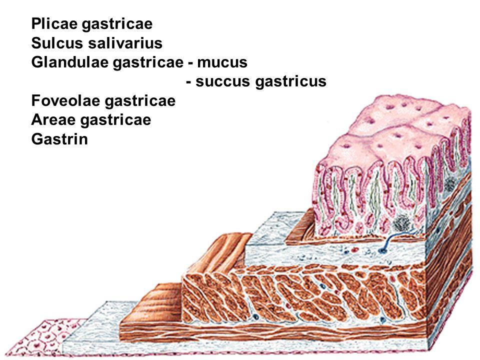 Plicae gastricae Sulcus salivarius. Glandulae gastricae - mucus. - succus gastricus. Foveolae gastricae.