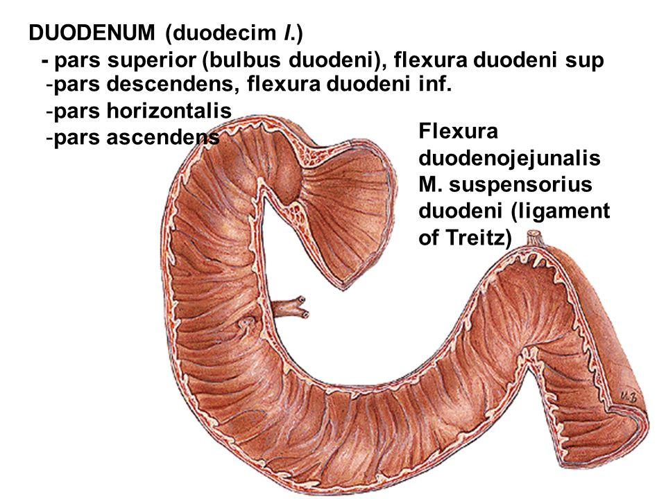 DUODENUM (duodecim l.) - pars superior (bulbus duodeni), flexura duodeni sup. pars descendens, flexura duodeni inf.