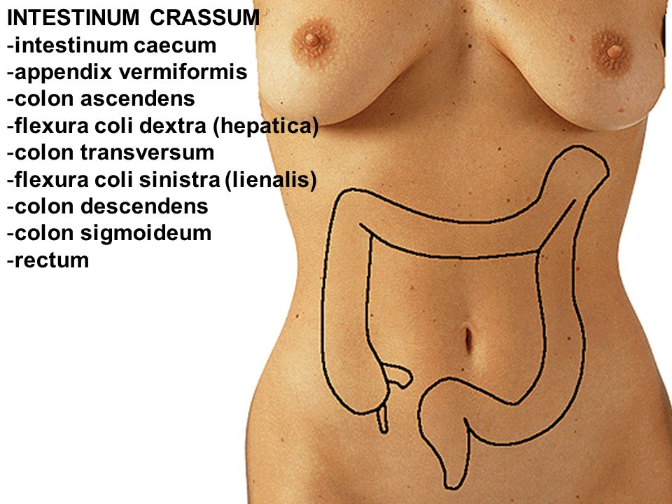 INTESTINUM CRASSUM intestinum caecum. appendix vermiformis. colon ascendens. flexura coli dextra (hepatica)