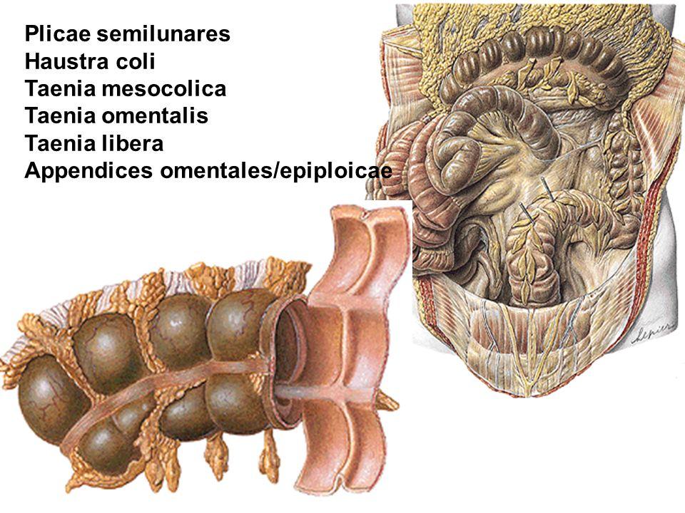 Plicae semilunares Haustra coli. Taenia mesocolica.