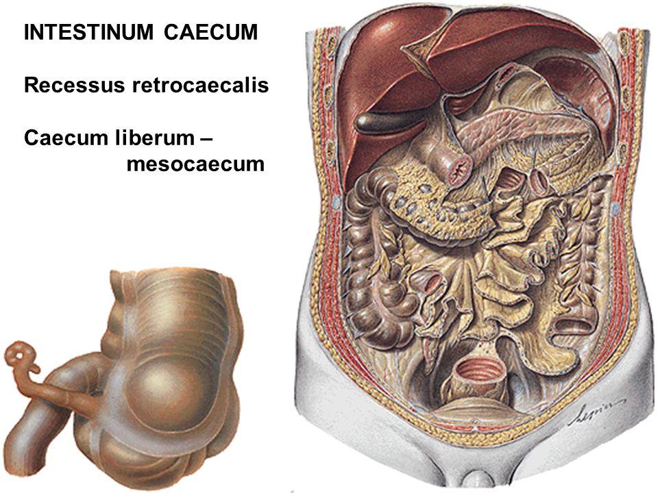 INTESTINUM CAECUM Recessus retrocaecalis Caecum liberum – mesocaecum
