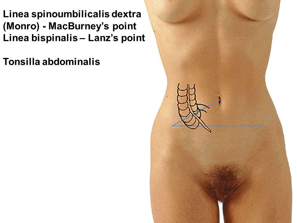 Linea spinoumbilicalis dextra