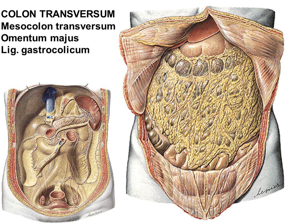 COLON TRANSVERSUM Mesocolon transversum Omentum majus Lig. gastrocolicum