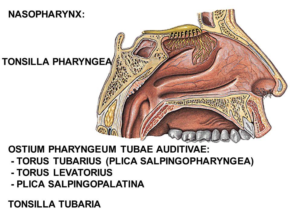 NASOPHARYNX: TONSILLA PHARYNGEA. OSTIUM PHARYNGEUM TUBAE AUDITIVAE: - TORUS TUBARIUS (PLICA SALPINGOPHARYNGEA)