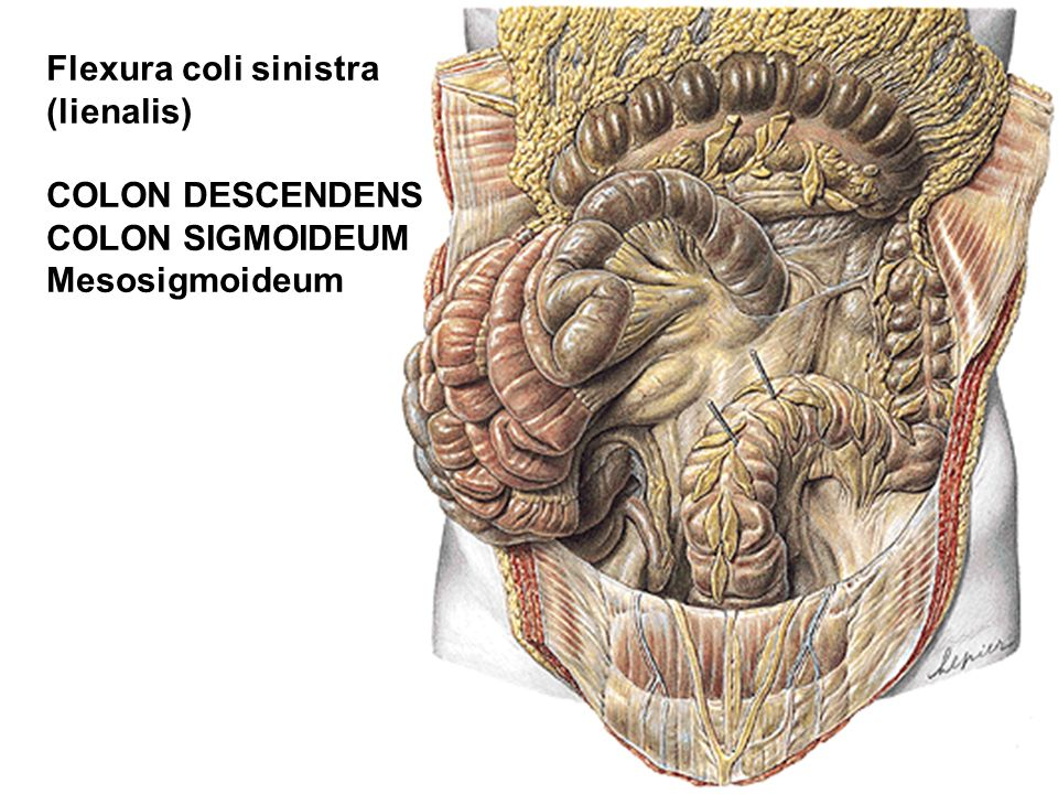 Flexura coli sinistra (lienalis) COLON DESCENDENS COLON SIGMOIDEUM Mesosigmoideum