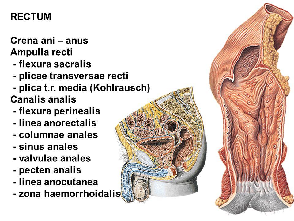 RECTUM Crena ani – anus. Ampulla recti. - flexura sacralis. - plicae transversae recti. - plica t.r. media (Kohlrausch)