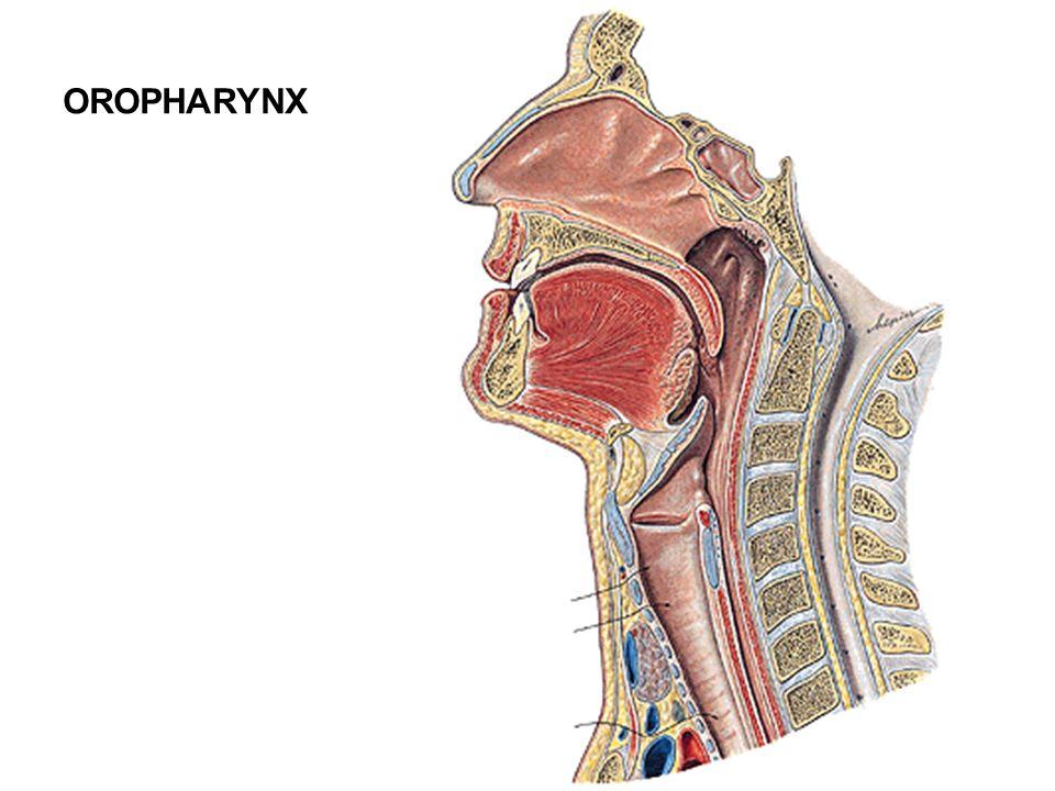 OROPHARYNX
