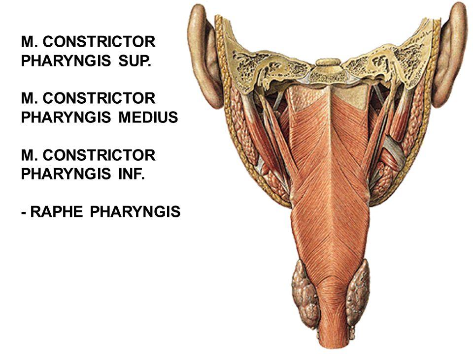 M. CONSTRICTOR PHARYNGIS SUP. PHARYNGIS MEDIUS PHARYNGIS INF. - RAPHE PHARYNGIS