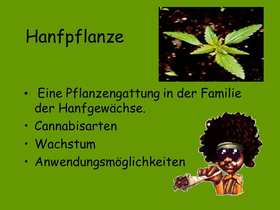 Hanfpflanze Eine Pflanzengattung in der Familie der Hanfgewächse.