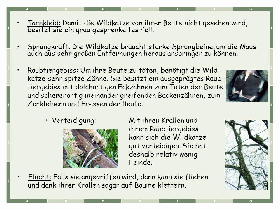 Tarnkleid: Damit die Wildkatze von ihrer Beute nicht gesehen wird, besitzt sie ein grau gesprenkeltes Fell.