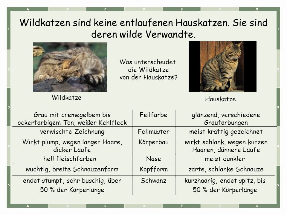 Wildkatzen sind keine entlaufenen Hauskatzen