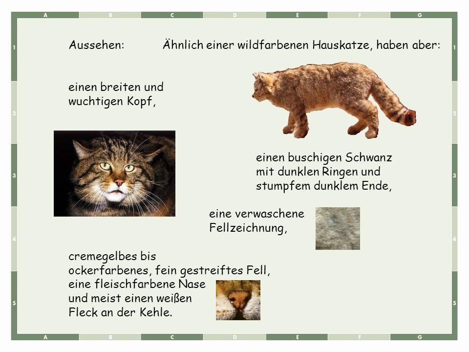 Aussehen: Ähnlich einer wildfarbenen Hauskatze, haben aber: