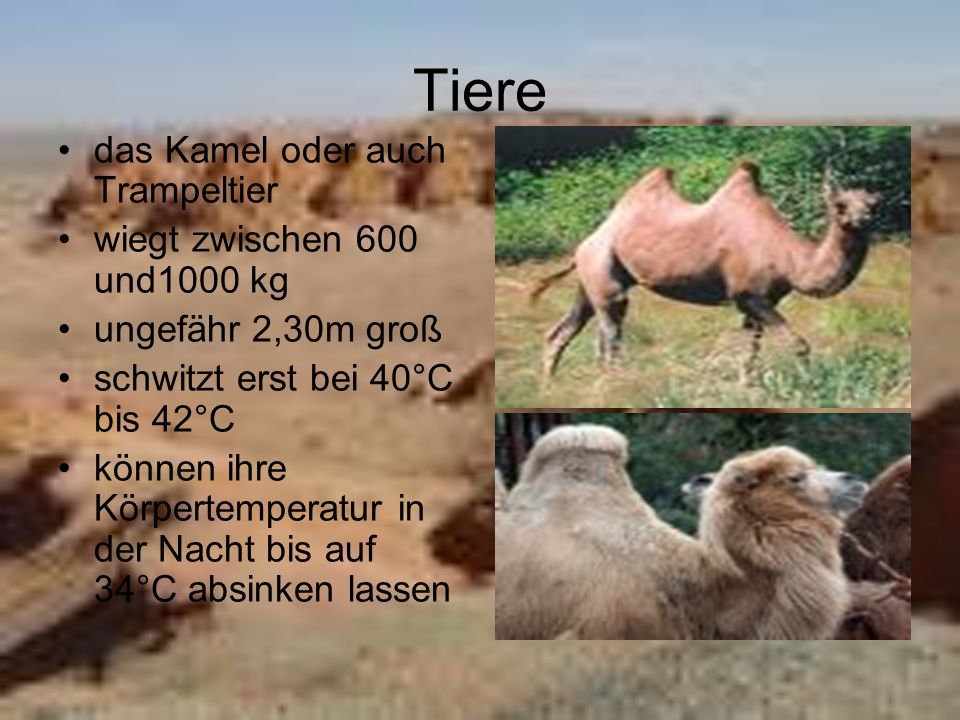 Tiere das Kamel oder auch Trampeltier wiegt zwischen 600 und1000 kg