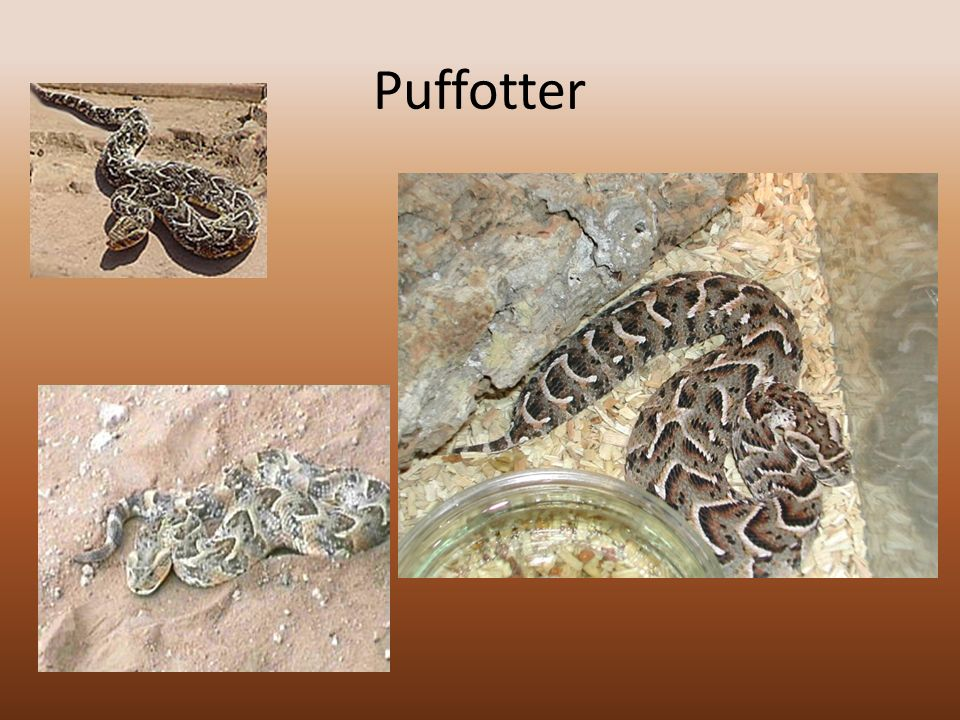 Puffotter