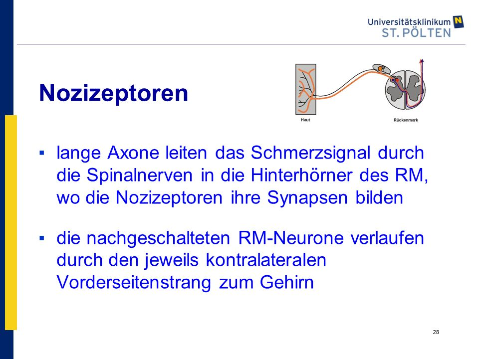 Nozizeptoren lange Axone leiten das Schmerzsignal durch die Spinalnerven in die Hinterhörner des RM, wo die Nozizeptoren ihre Synapsen bilden.